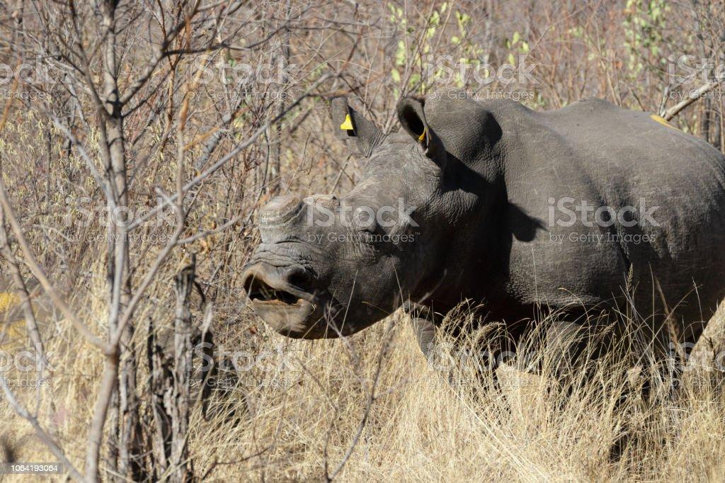 Yawning male white rhinoceros Ceratotherium simum Zimbabwe stock photo