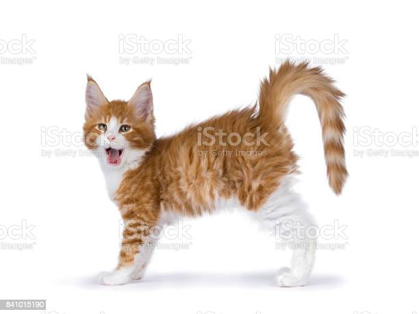 Yawning red and white maine coon kitten standing yawning isolated on picture id841015190?b=1&k=6&m=841015190&s=612x612&h=nw5cniuannhxqkzgajaguy7xlv49rw hg2u6fptsxbo=