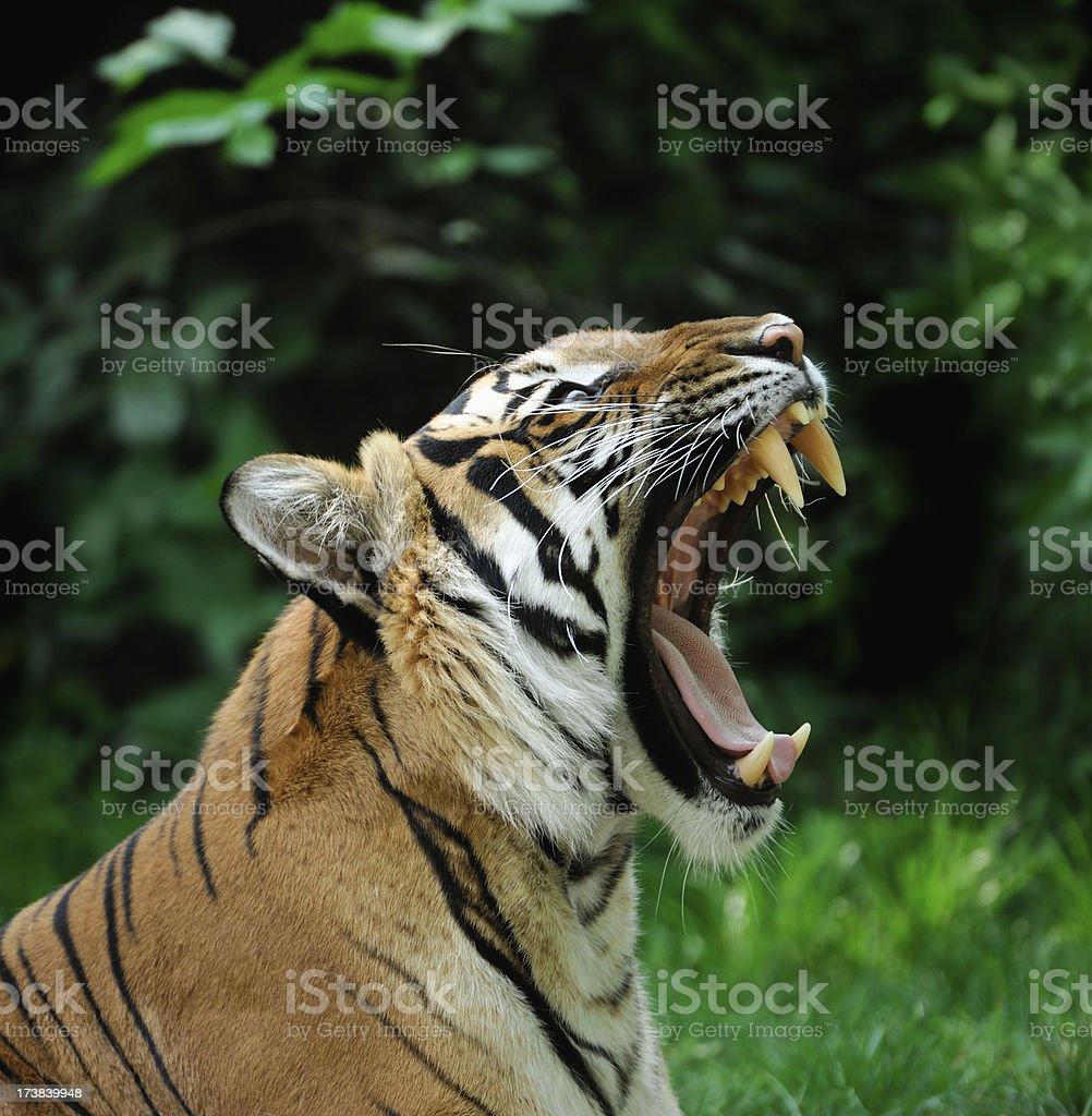 Bostezar tiger - foto de stock