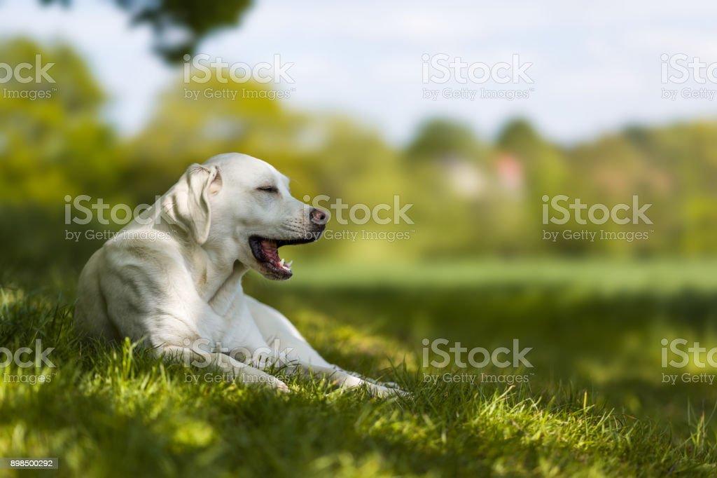 Gähnen müde Labrador Retriever Hund Welpe auf einer Wiese im Sommer – Foto