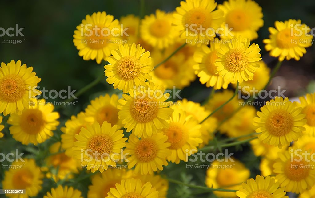 yeallow flowers
