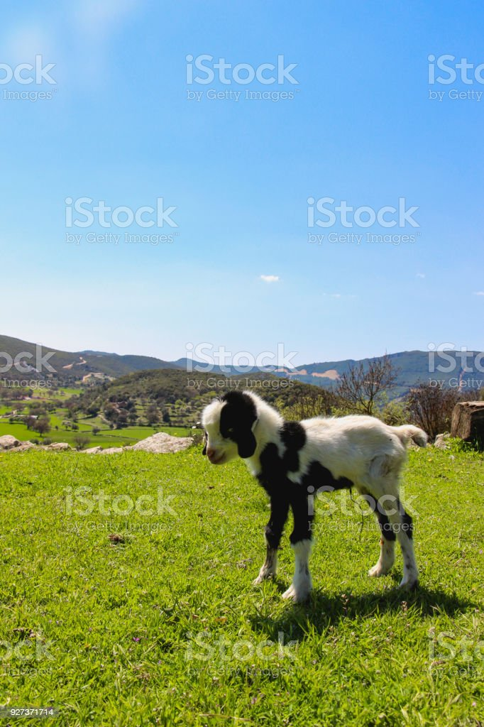 Yeanling - Royalty-free Agricultural Field Stock Photo