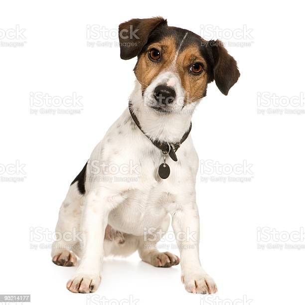 Year old confused jack russell dog on white background picture id93214177?b=1&k=6&m=93214177&s=612x612&h=lc3uvqthi 9v8rxvzmsjk6jtoxntuedppqnegord62y=
