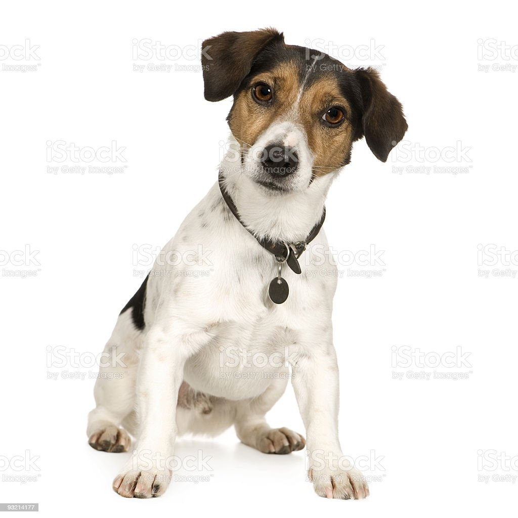4 year old confused Jack Russell dog on white background stock photo