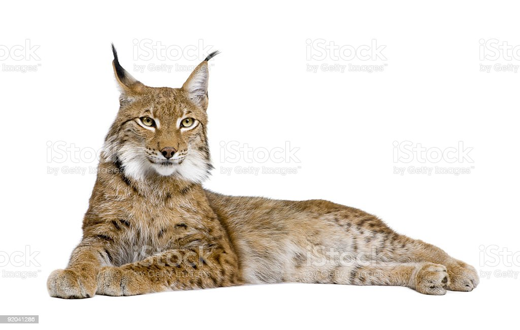 5 year old Eurasian Lynx on a white background stock photo