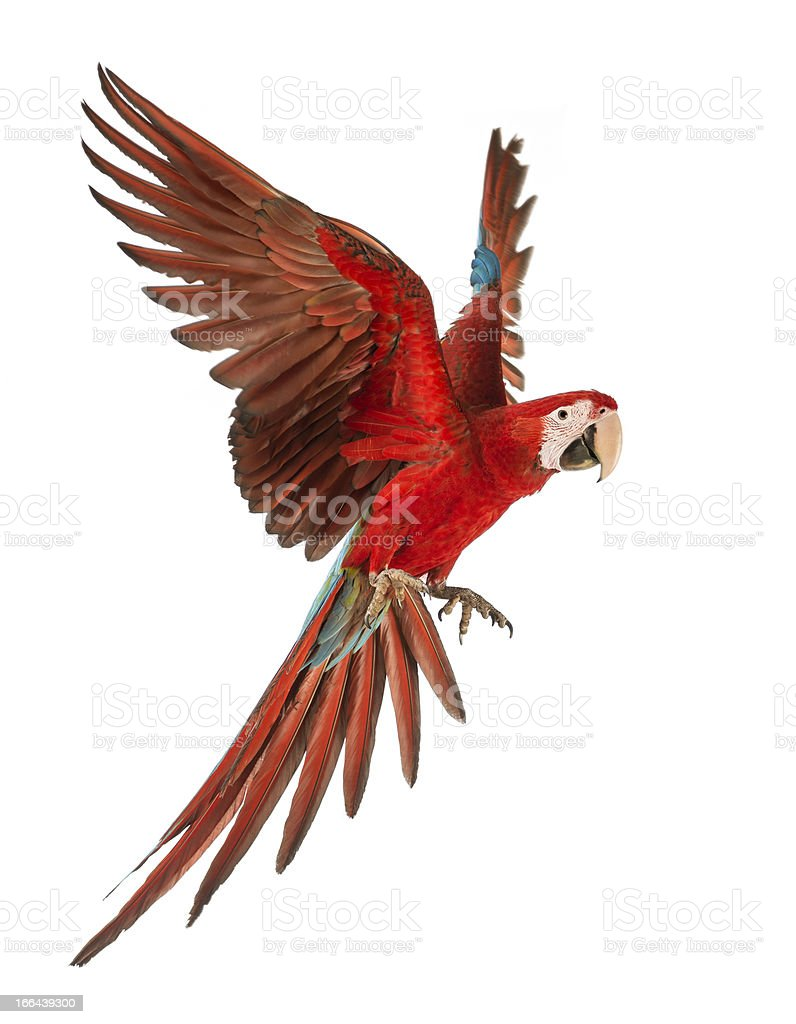 1 year old green winged Macaw in flight. Ara Chloropertus stock photo