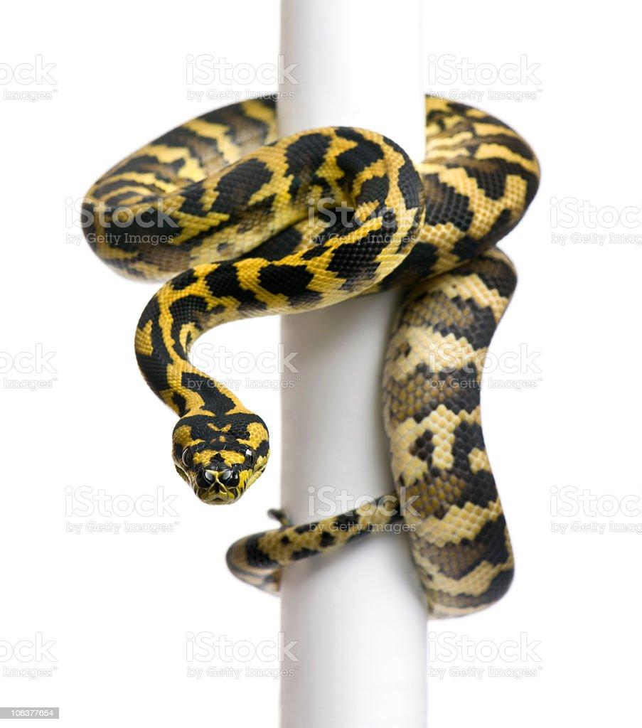 1 year old Morelia spilota variegata python wrapped on pole stock photo