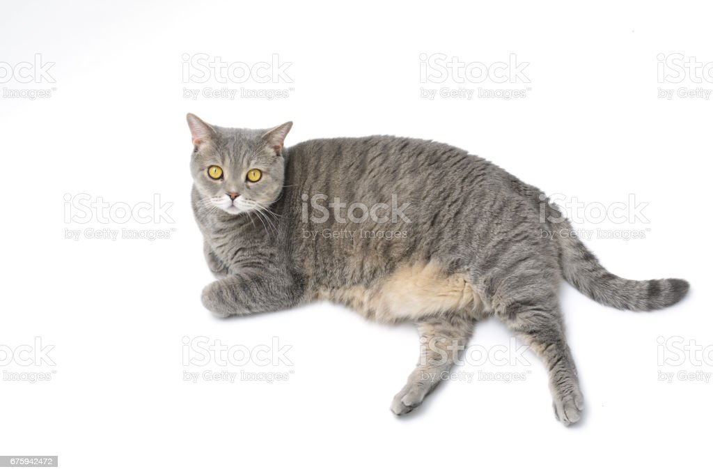 4-5 year old neutered obese british shorthair cats stock photo