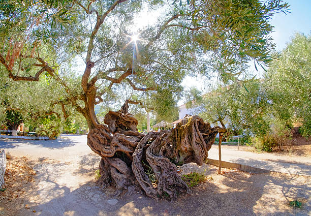 2000 year old olive tree in Exo Hora. Oldest Olive stock photo