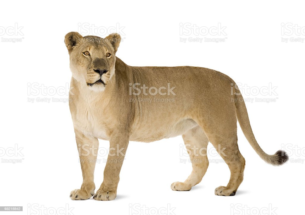 8 year old Panthera Leo lioness on white background stock photo