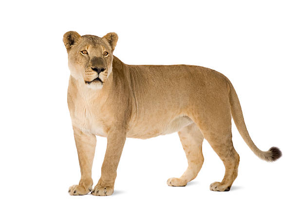 8 year old panthera leo lioness on white background - lioness stock photos and pictures