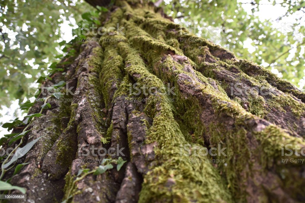 500 year old tree stock photo