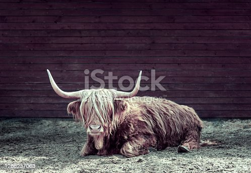 istock 2021 year symbol of bull or ox in chinese calendar on the dark background in vintage style. New year card, calendar, horoscope or Zodiac sign concept. Copy space template, greeting card layout 1286237063