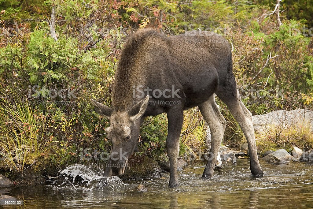 Yearling Maine alce foto stock royalty-free