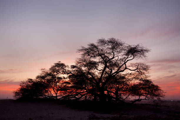 A 400 year-old mesquite tree which lives in the middle of desert stock photo