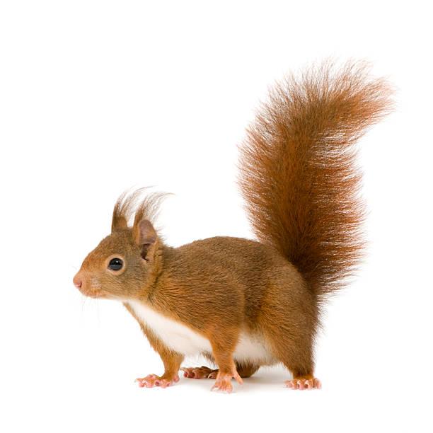 2 years old eurasian red squirrel, sciurus vulgaris - squirrel stock photos and pictures