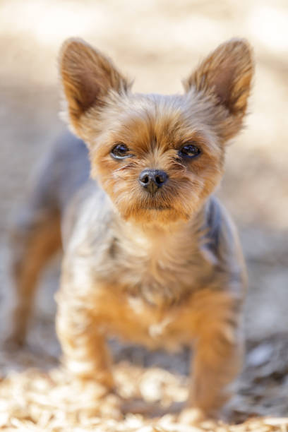 4 years old female Yorkshire Terrier Portrait stock photo