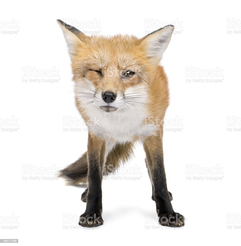 4 years old red fox in white background stock photo