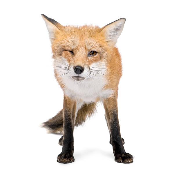 zorro rojo (4 años - zorro fotografías e imágenes de stock