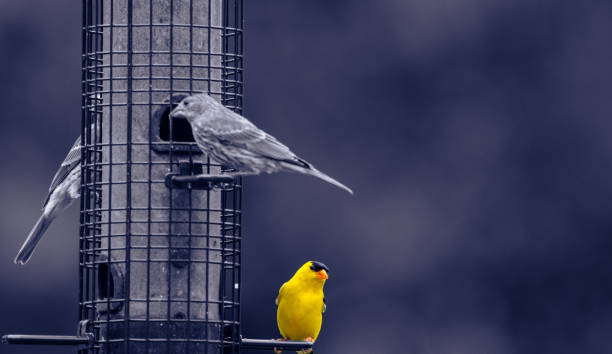 Yelllow Bird stock photo