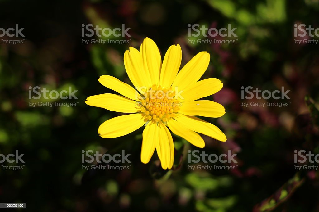 Yelllow Marigold royalty-free stock photo