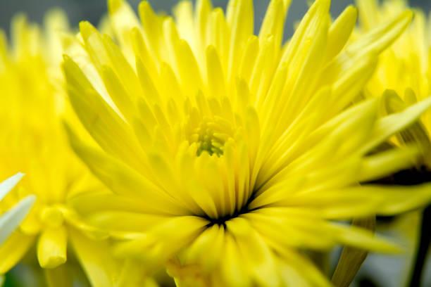 yellolw chrysanthemums - beautiful flowers / yellow flower background / close up - mika foto e immagini stock