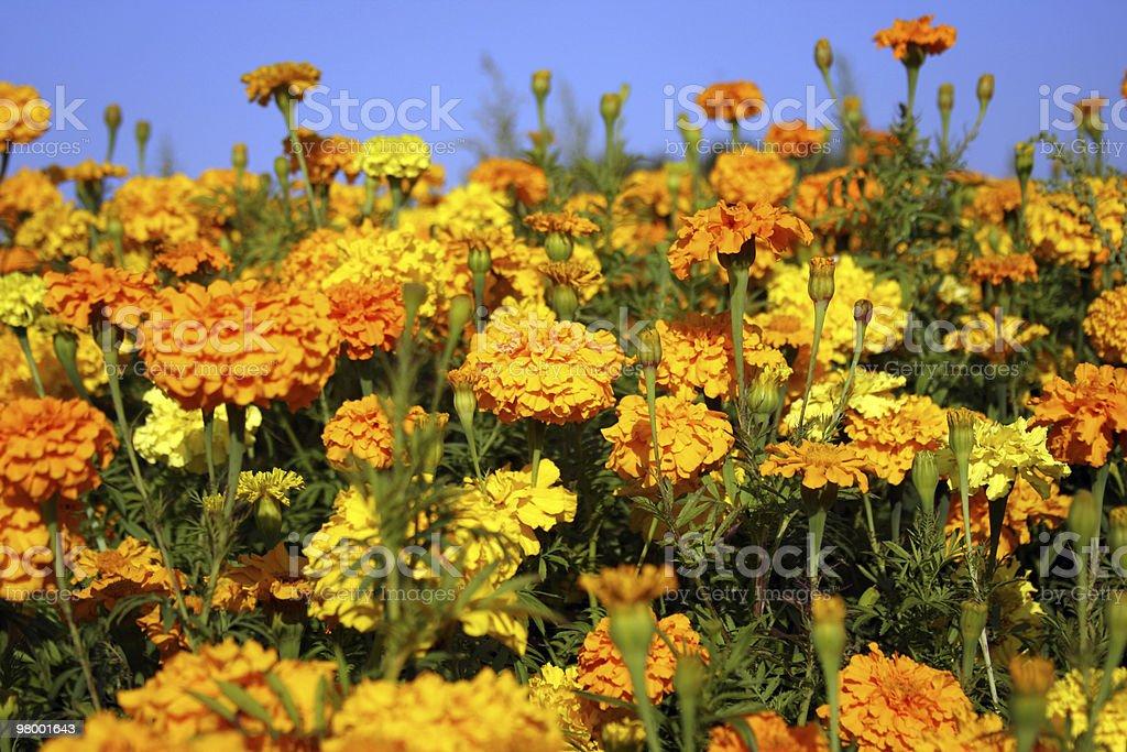 Yellorange flower garden royalty free stockfoto