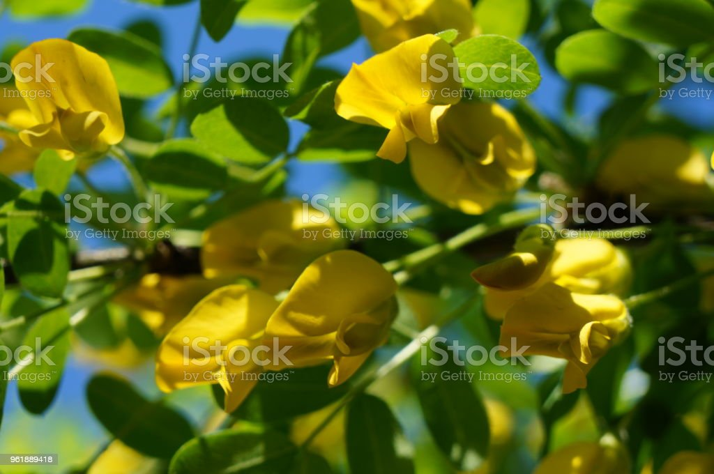 Yellow acacia medical plant caragana arborescens peashrub with yellow acacia medical plant caragana arborescens peashrub with beautiful yellow flowers in the spring mightylinksfo