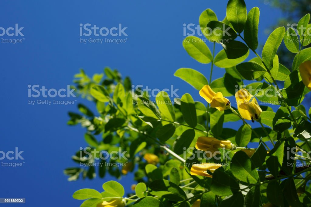 Yellow Acacia Medical Plant Caragana Arborescens Peashrub With