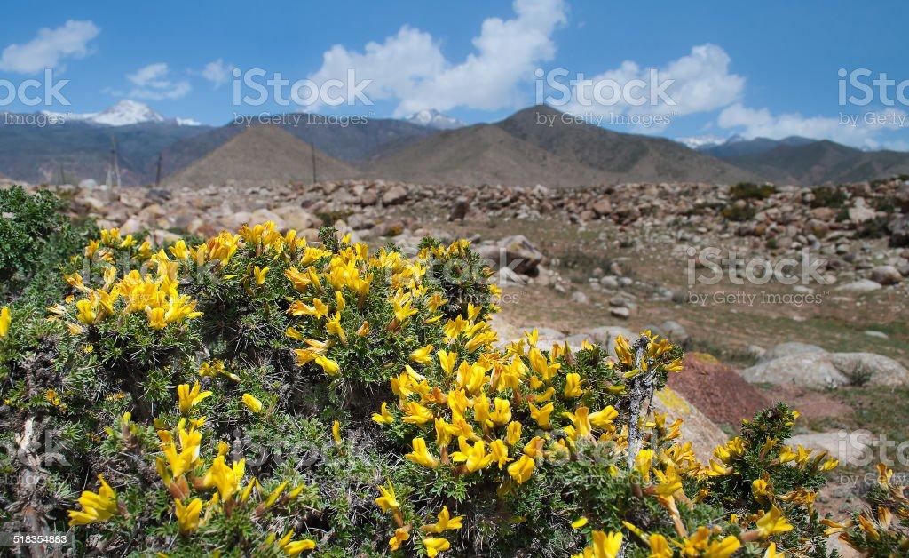 Yellow acacia stock photo