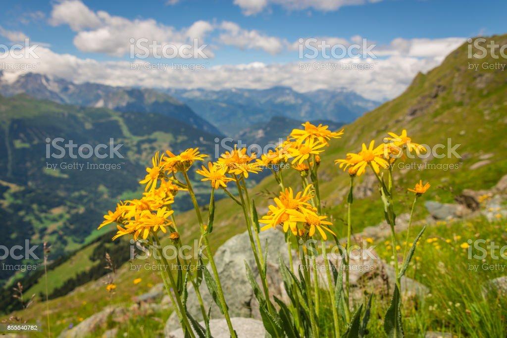 Yellow alpine flowers summer stock photo