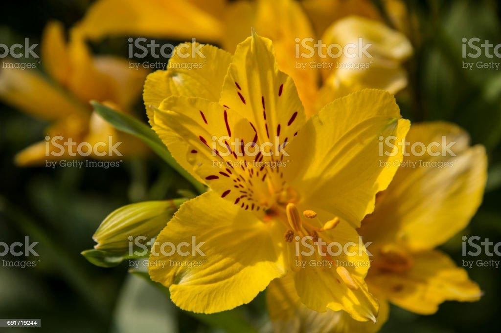 yellow alstroemeria flower - ywllow Astromelia Flower – zdjęcie