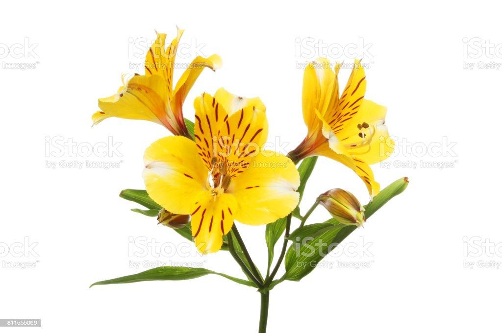 Yellow alstroemeria flowers stock photo