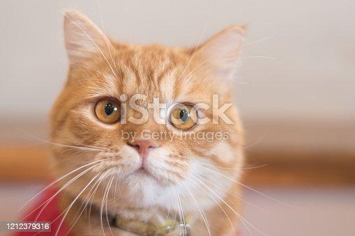 Yellow American and British shorthair tabby tomcat cat in red Christmas costume.