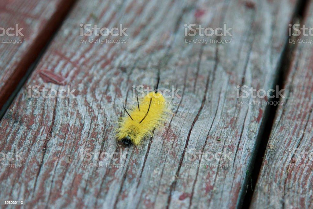 Yellow American Dagger Moth caterpillar crawling on the wood. stock photo