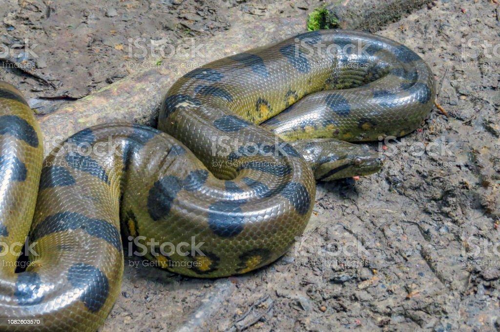 Yellow anaconda laying on the ground stock photo