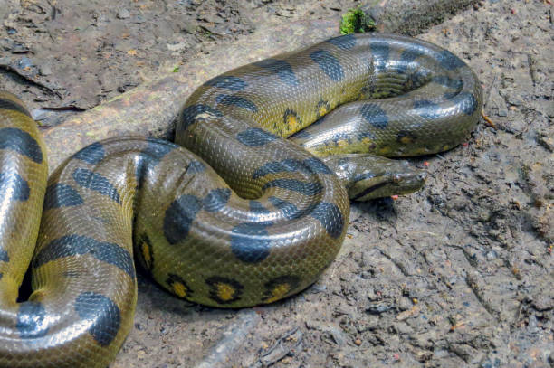 Yellow anaconda laying on the ground – zdjęcie