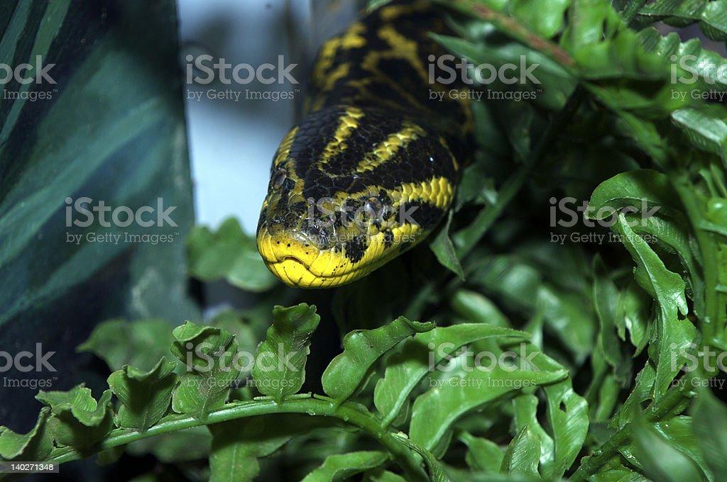 Yellow Anaconda royalty-free stock photo