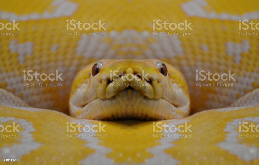 Jaune Anaconda - Photo
