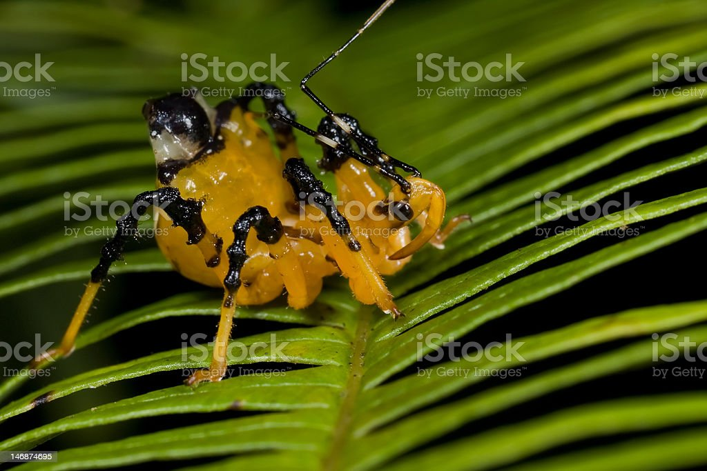 Yellow And Black Assassin Bug Stock Photo - Download Image