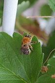 Pequeña abeja de color amarillo y negro, posando sobre una hoja color verde en el jardín de una casa.