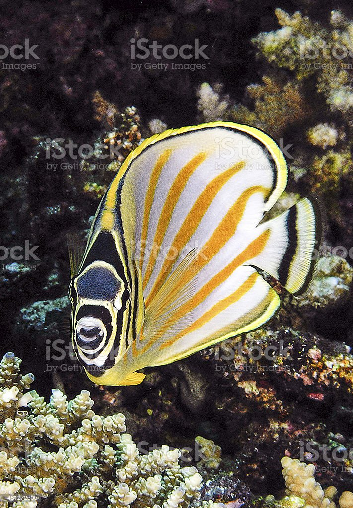 Yellow and black butterfly fish on coral reef. stock photo