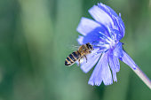 Yellow and black honey bee pollinating a blue wild flowe