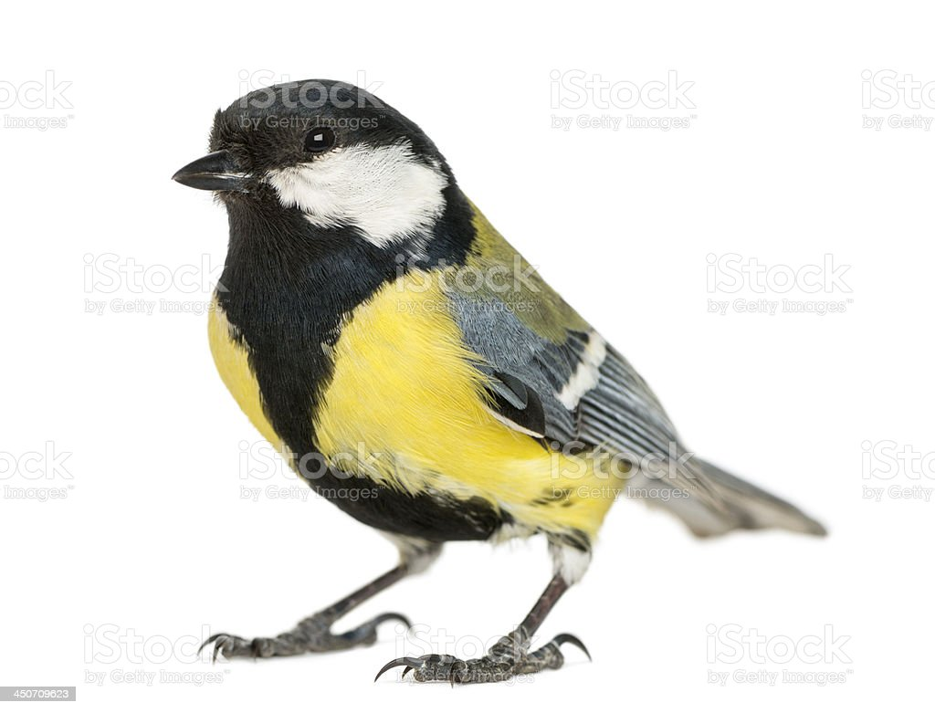 Yellow and black male great tit isolated on white stock photo