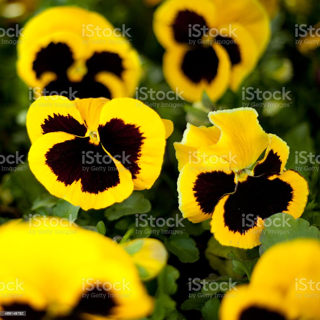 Yellow And Black Pansy Flowers Stock Photo 469148792 Istock