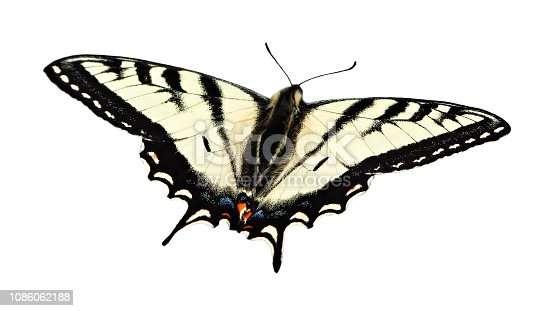 A beautiful Western Tiger Swallowtail butterfly with its wings spread open, cut out on a white background.  This graceful butterfly is well known for its distinct yellow color with black stripes pattern and blue and orange spots near its tail.  British Columbia, Canada