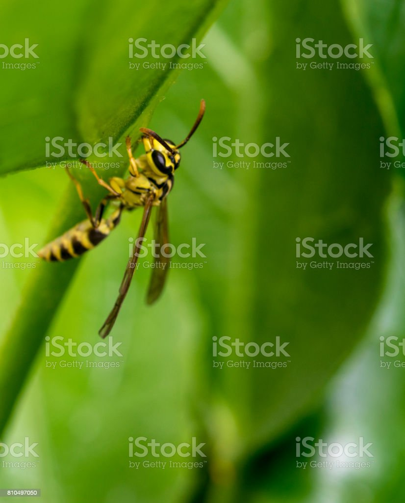Yellow and black wasp wandering on a tree leaf stock photo