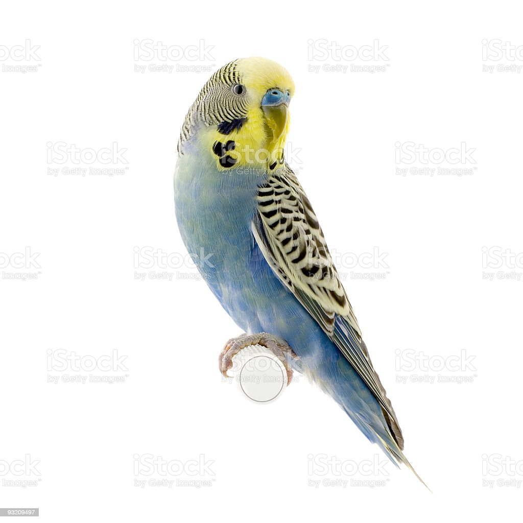 yellow and blue budgie royalty-free stock photo
