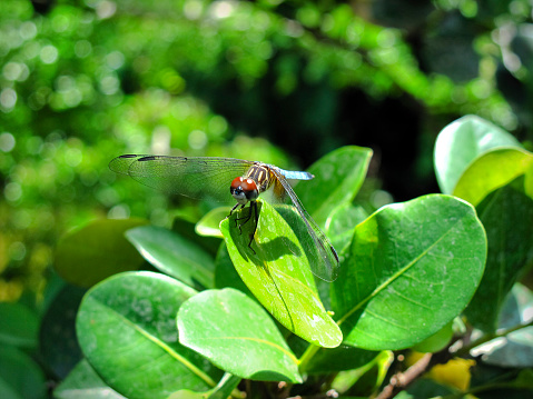 Closeup of a yellow and blue dragonfly on a green leaf