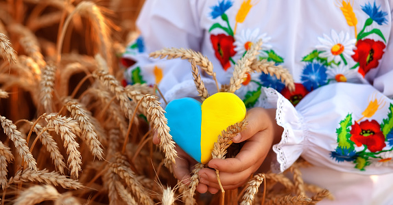 A yellow and blue heart and spikelets of wheat in the hands of a child in an embroidered shirt ( vyshyvanka). Wheat field at sunset.Unity Day, Independence Day of Ukraine, Embroidery Day